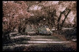 Car and cherry blossoms