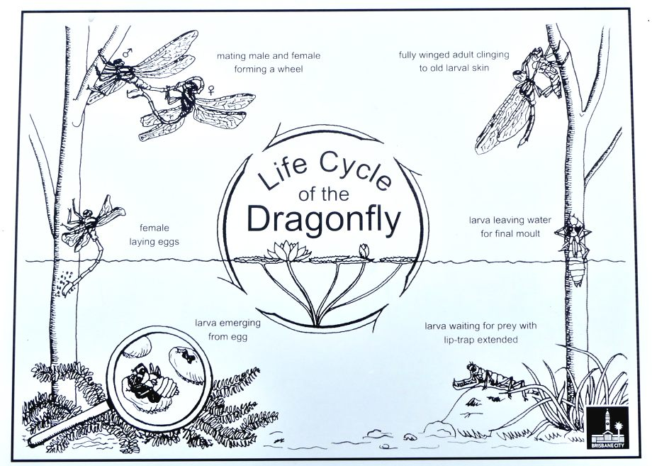 The contradictory life-cycle of dragonflies